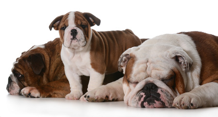 dog family - english bulldog family isolated on white background  photo