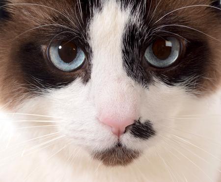 ragdoll: cat portrait - ragdog cat face portrait  Stock Photo