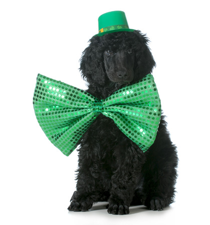 St Patricks Day dog - standard poodle puppy wearing green hat and tie sitting isolated on white background - 8 weeks old photo