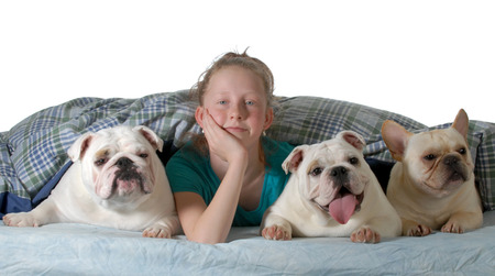 dogs in the bed - two english bulldogs and a french bulldog under the covers with preteen girl isolated on white background photo