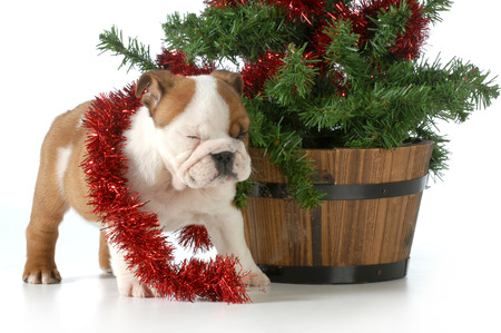 christmas puppy english bulldog playing under the christmas tree isolated on white  photo