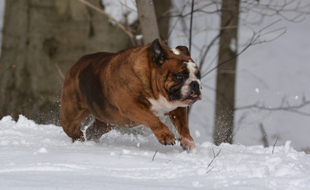 old english: english bulldog running in the snow - female 6 years old