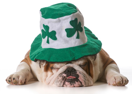 st patricks day: English bulldog wearing St Patricks Day hat isolated on white  Stock Photo