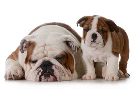 british bulldog: bulldog family - grandfather and grandson isolated on white