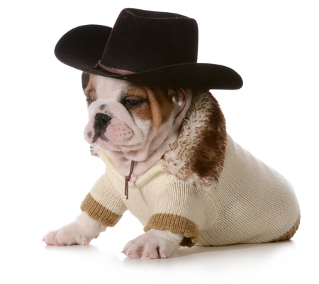 country dog - english bulldog puppy dressed up in western gear isolated on white photo