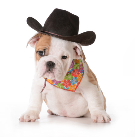 bull dog: country dog - english bulldog puppy dressed up in western gear isolated on white Stock Photo