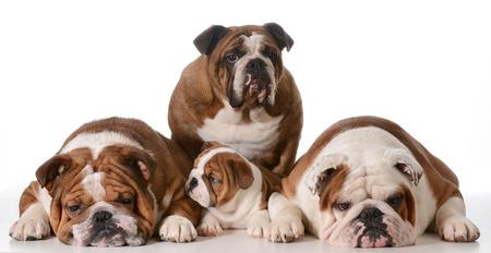 great grandmother: familia bulldog - cuatro generaciones - la bisabuela en la espalda, el padre de la izquierda, hijo y abuelo a la derecha Foto de archivo