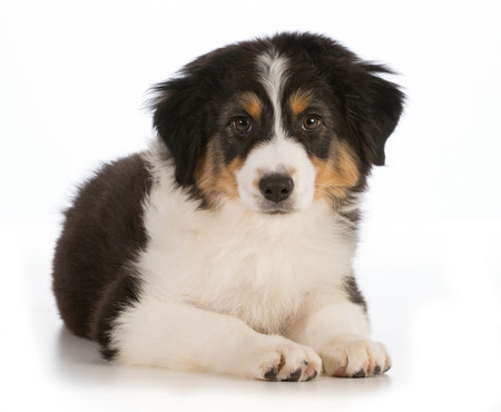 laying down: Australian Shepherd puppy laying down looking at viewer isolated on white background - 12 weeks old Stock Photo