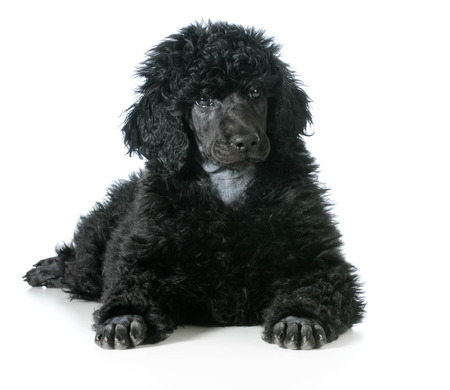 standard: standard poodle puppy laying down isolated on white background