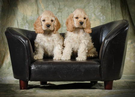 cute puppies - american cocker spaniel puppies sitting on a leather couch on green background - 8 weeks old photo