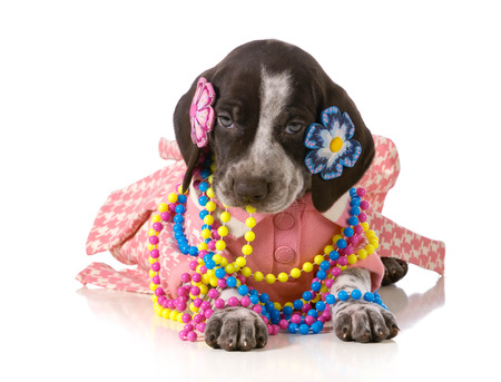 pampered pets: female puppy - german shorthaired pointer puppy dressed up like a girl isolated on white background