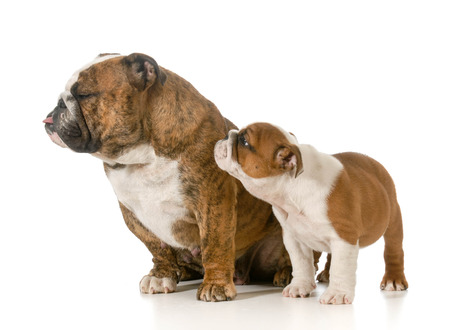 wrinkled brow: mother and her puppy - english bulldogs