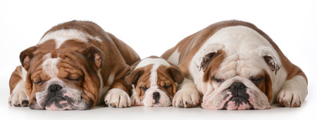 3 generation: father son and grandson dogs - english bulldogs with three generations laying down side by side isolated on white background - father two years, son 10 weeks, grandfather 4 years Stock Photo
