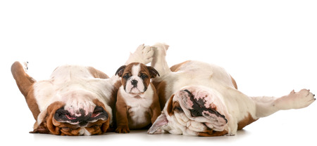 dog family - english bulldog family - father, son and grandfather isolated on white background photo