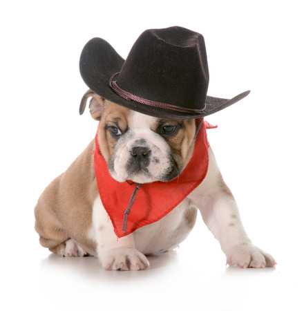 british bulldog: country dog - english bulldog puppy dressed up in western gear isolated on white background- 8 weeks old