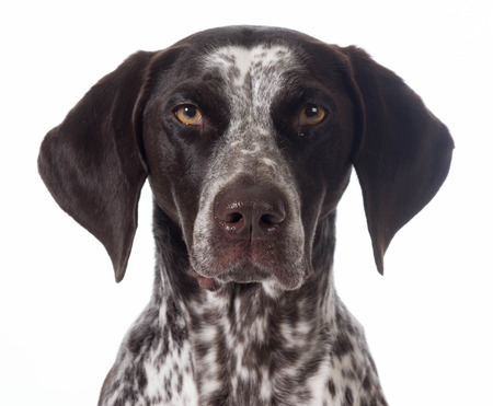 pointer dog: german shorthaired pointer portrait isolated on white - female