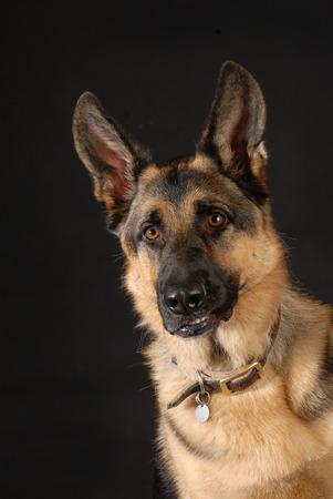 bared teeth: protective dog - german shepherd dog with teeth bared on black background