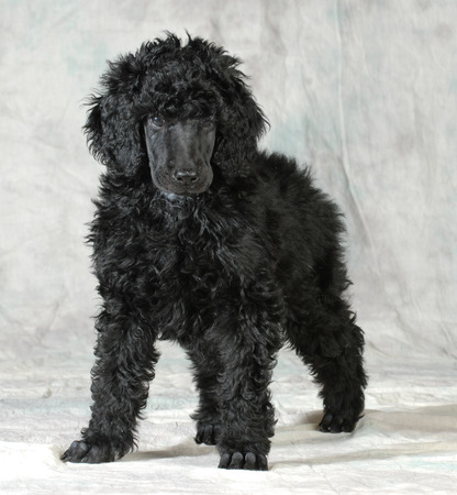 groomer: standard poodle puppy standing on green background - 8 weeks old Stock Photo