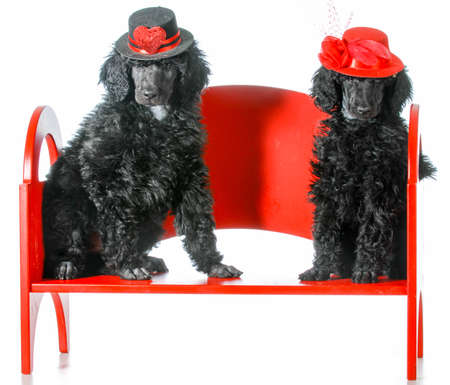 standard: dog couple - two standard poodle puppies sitting on a red bench Stock Photo