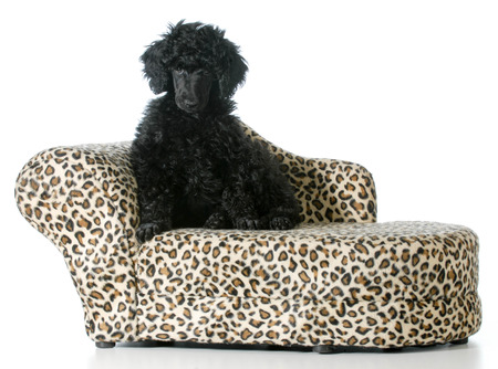 leopard print couch stock photos images. royalty free leopard