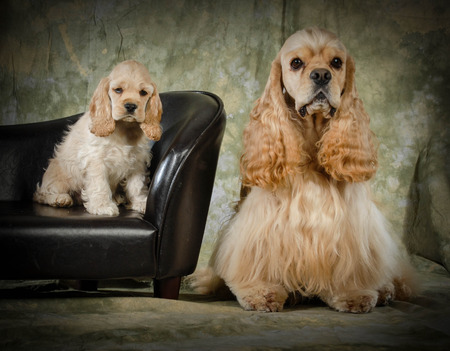 american cocker spaniel father and puppy photo