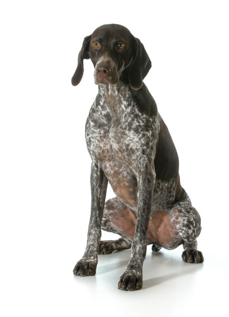 pointer dog: german shorthaired pointer looking at viewer isolated on white background- female