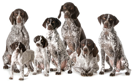 a big family: german shorthaired pointers isolated on white background