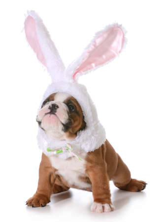 stocky: dog dressed up like a bunny isolated on white background - 7 weeks old