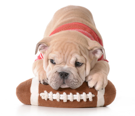 sports hound - english bulldog puppy laying on stuffed football isolated on white background - 9 weeks old photo