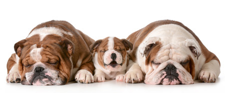 three generation: three bulldogs - father is two, son is 10 weeks and grandfather is 4 isolated on white background Stock Photo