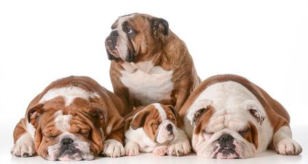 great grandmother: familia bulldog - cuatro generaciones - la bisabuela en la espalda, padre a la izquierda, hijo y abuelo a la derecha