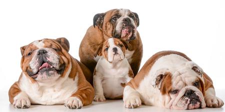 great grandmother: familia de los perros - Bulldog Ingl�s bisabuela en la espalda con el padre, el hijo y el abuelo delante