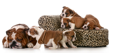 misbehaving: litter of puppies playing beside their father isolated on white background - english bulldogs 8 weeks old