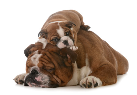 fathers day - father and son bulldogs isolated on white background - 8 weeks old