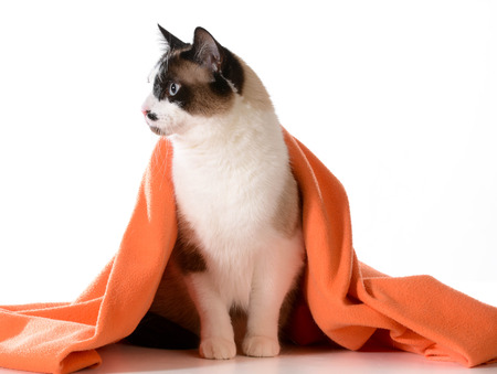 cat grooming: cat under covers - ragdoll sitting under orange blanket on white background - male Stock Photo