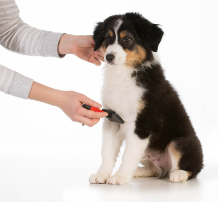groomer: dog grooming - australian shepherd sitting being brushed isolated on white background Stock Photo