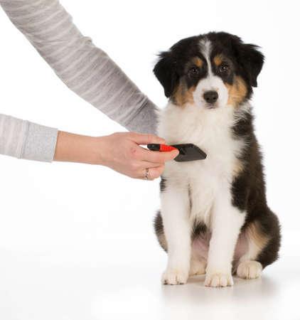dog grooming - australian shepherd sitting being brushed isolated on white background photo