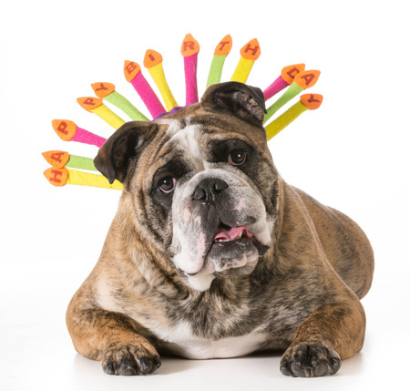 2 year old: birthday dog - english bulldog wearing happy birthday hat - 2 year old brindle male