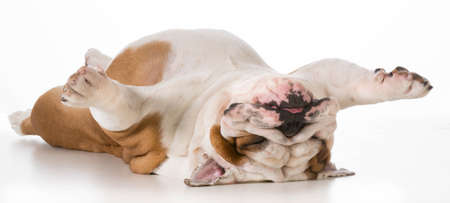 dog laying upside down - english bulldog on back sleeping isolated on white background