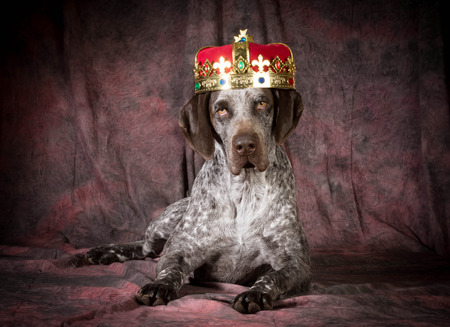 laying down: spoiled dog - german shorthaired pointer wearing a crown on purple background Stock Photo