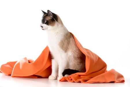 cat grooming: cat under covers - ragdoll sitting under orange blanket on white - male