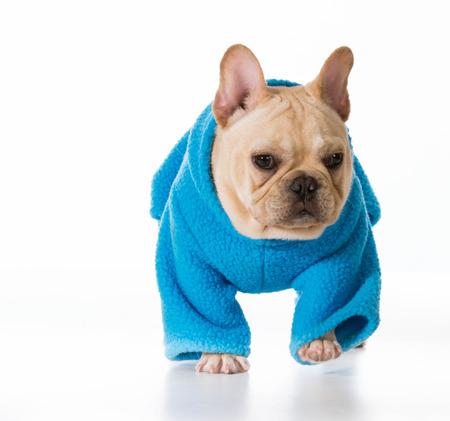 sweatsuit: winter puppy wearing a blue sweatsuit Stock Photo
