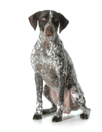 sitting down: german shorthaired pointer - male Stock Photo