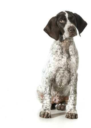 pointer dog: german shorthaired pointer puppy looking up isolated on white - female