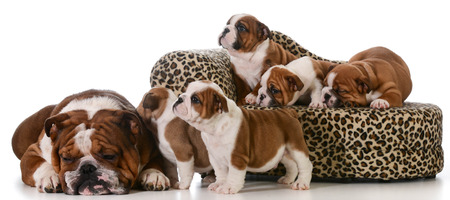 bulldog family - father and five puppies isolated on white  photo