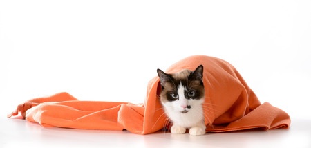 cat hiding under covers - ragdoll sitting under orange blanket on white - male photo