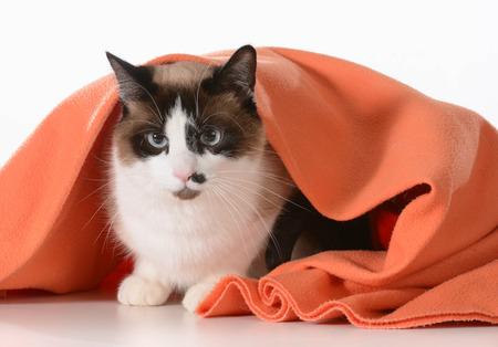 cat grooming: cat hiding under covers - ragdoll sitting under orange blanket on white - male