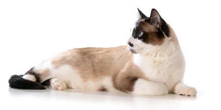 ragdoll: ragdoll cat laying down isolated on white