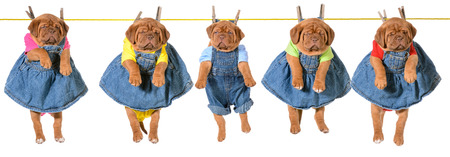 litter of puppies hanging on a clothesline - dogue de bordeaux - 5 weeks old photo