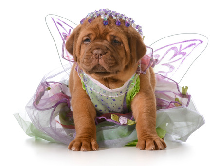 bordeaux mastiff: female puppy - dogue de bordeaux puppy wearing princess dress isolated on white - 5 weeks old Stock Photo